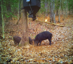 Pigs on Douglas Dble Barrel Lower Un