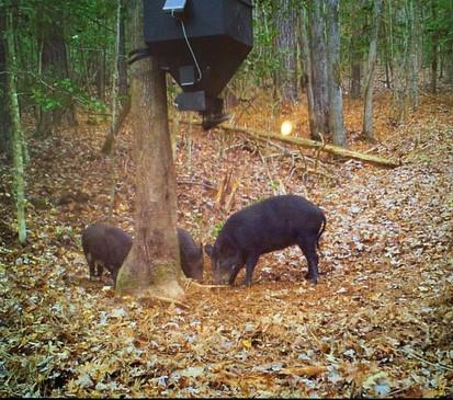 Pigs on Douglas Auger lower unit