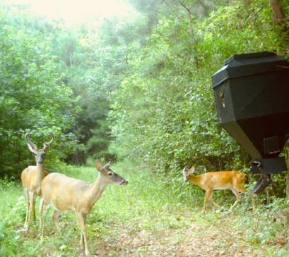 Deer checking out Douglas Manna feeder.