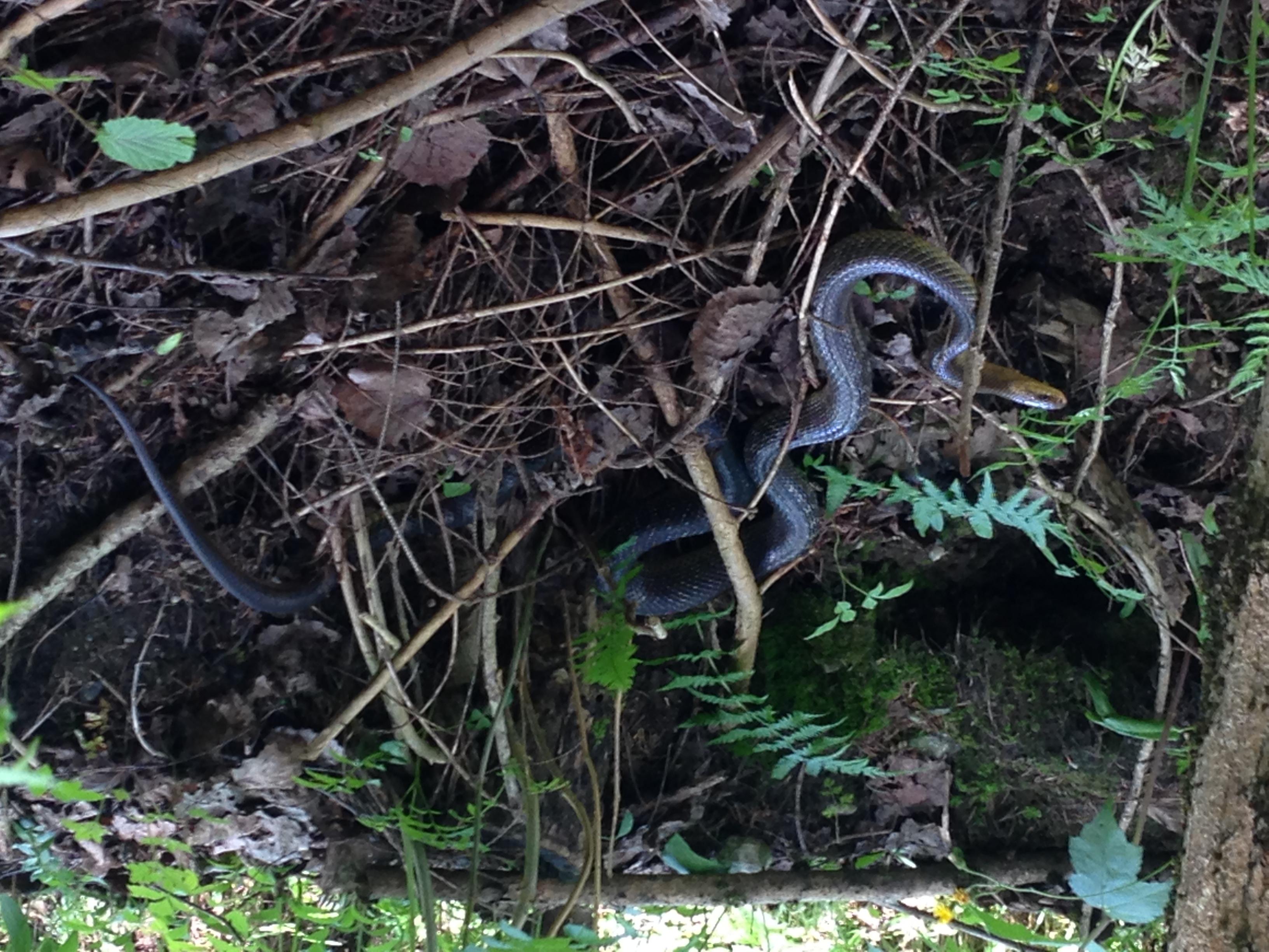 E11-2 Schlange auf dem Weg nach Seeboden
