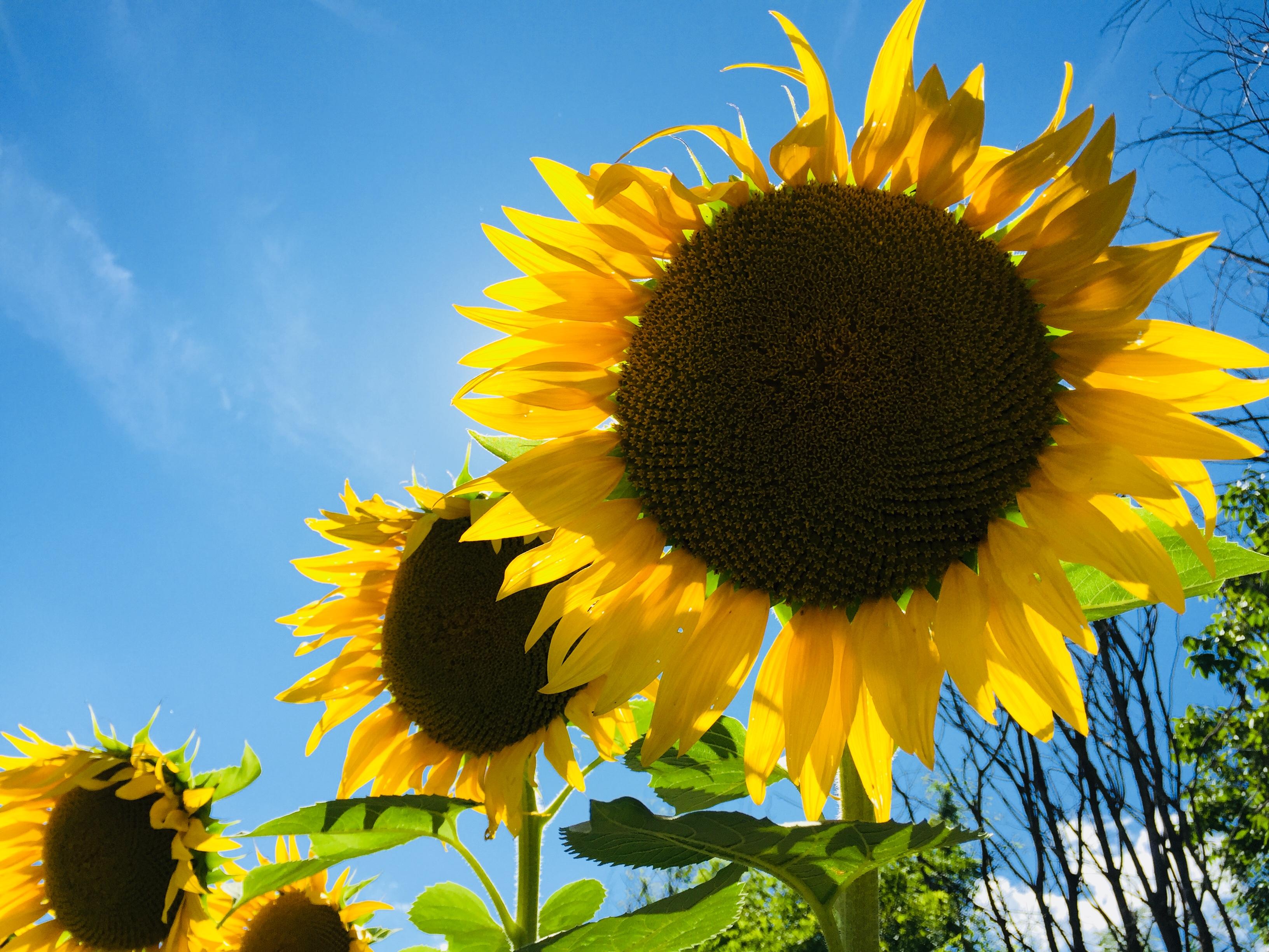 E28-2 Sunflower