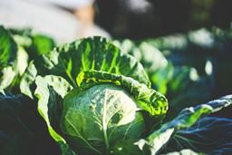 cabbage-vegetable-online-singapore.jpeg