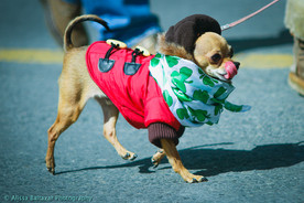 Hamilton event photographer.  Dog at St. Patrick Day Parade.