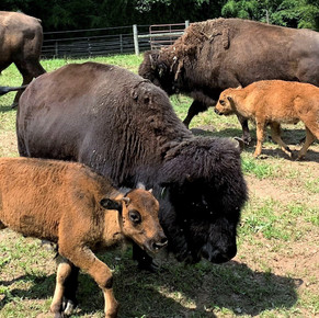 Let's Celebrate the Anniversary of the National Bison Legacy Act!