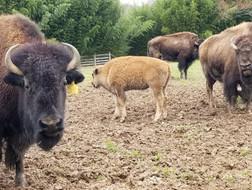 Bison-looking.JPG