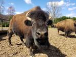 bison-staring.jpg