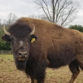 Bison In The Media