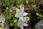 Swertia angustifolia Ham. ex D.Don.jpg