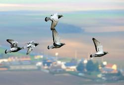 560317-des-pigeons-survolant-le-nord-pas