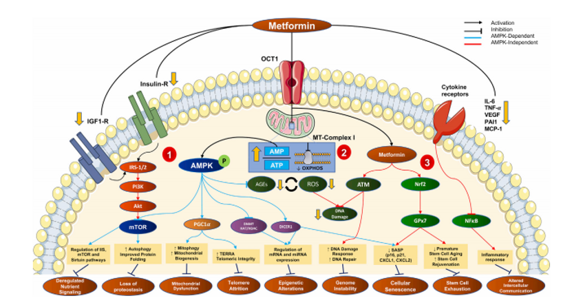 metformin hallmarks of aging.PNG