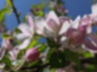 Apfelblüte_rosa.jpg