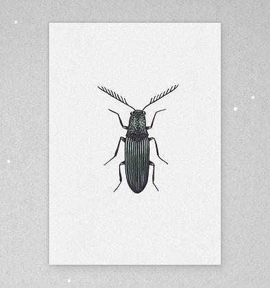 Postkarte | Käfer - Elateridae