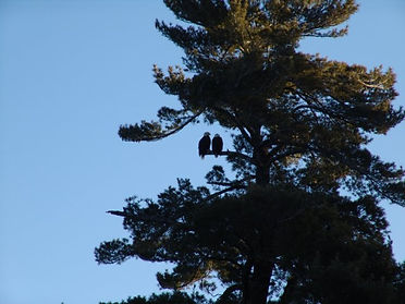 2 eagles on tree