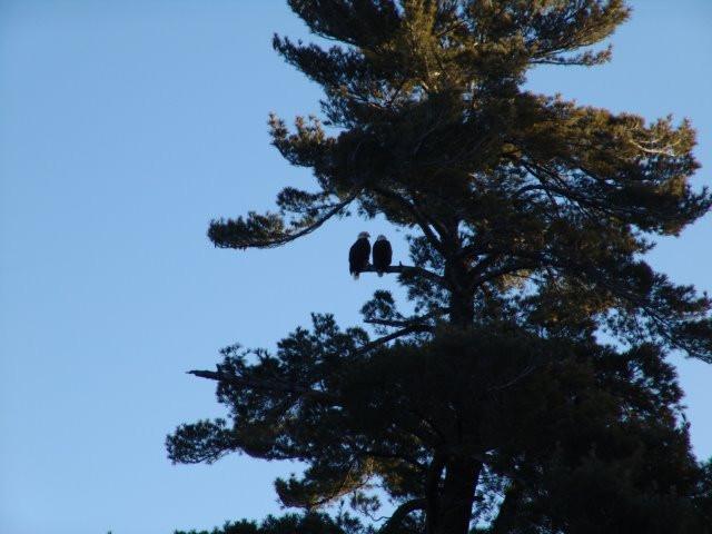 eagles on tree