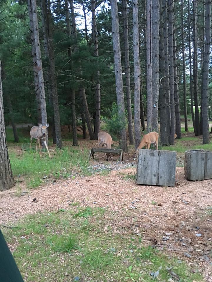 minocqua resort with deer