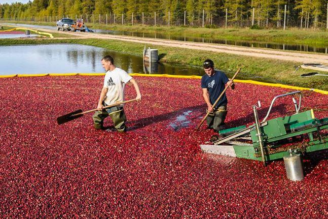 guys raking cranberries on lake