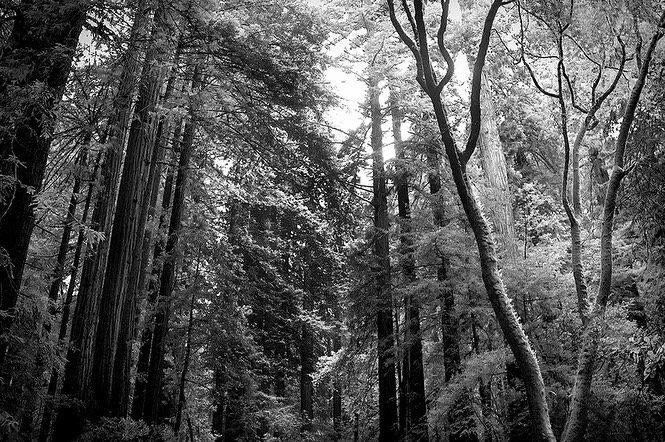 """""""Muir Woods"""""""