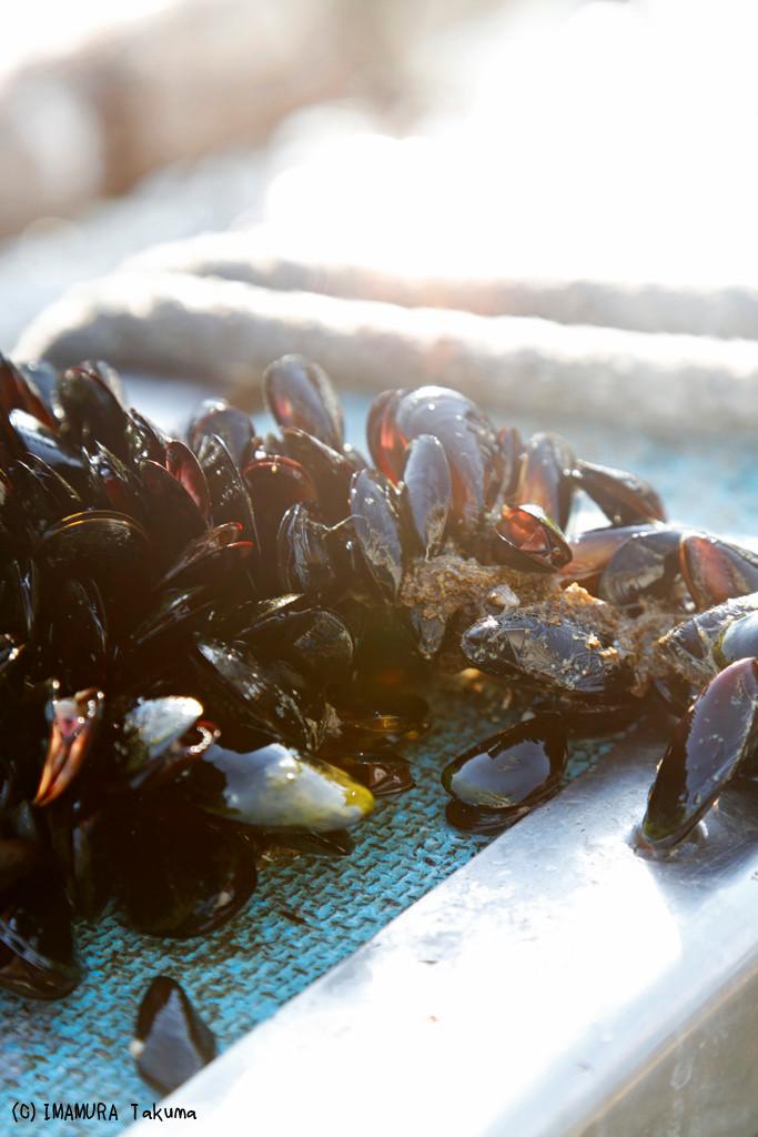 牡蠣に付着するムール貝。食べられるが、どれもサイズが小さく食べる気にもならない。