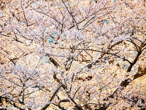 2019.04.04 桜