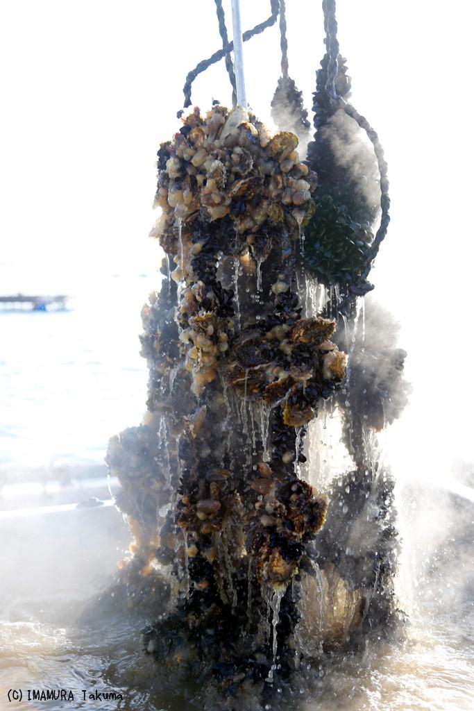 お湯に入れられて消毒される牡蠣。牡蠣の周りにはムール貝がびっちりと付着する。