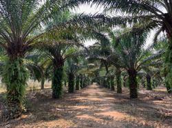 Palmiers matures