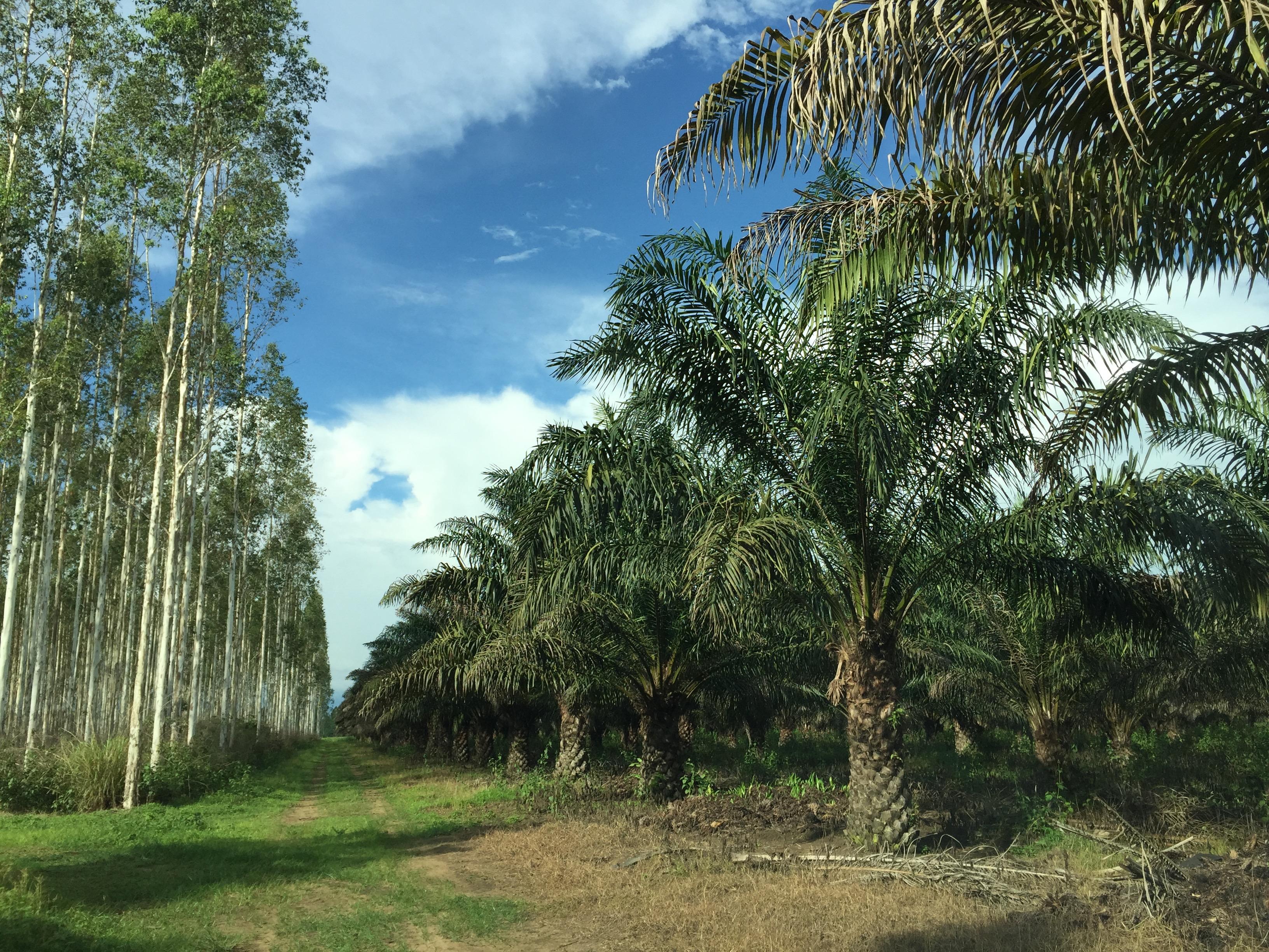 Palmeraie bordée d'Eucalyptus