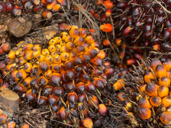 Régime noix de palme