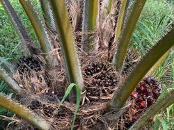 Jeune palmier