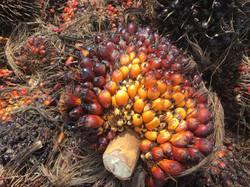 Régimes de palmier