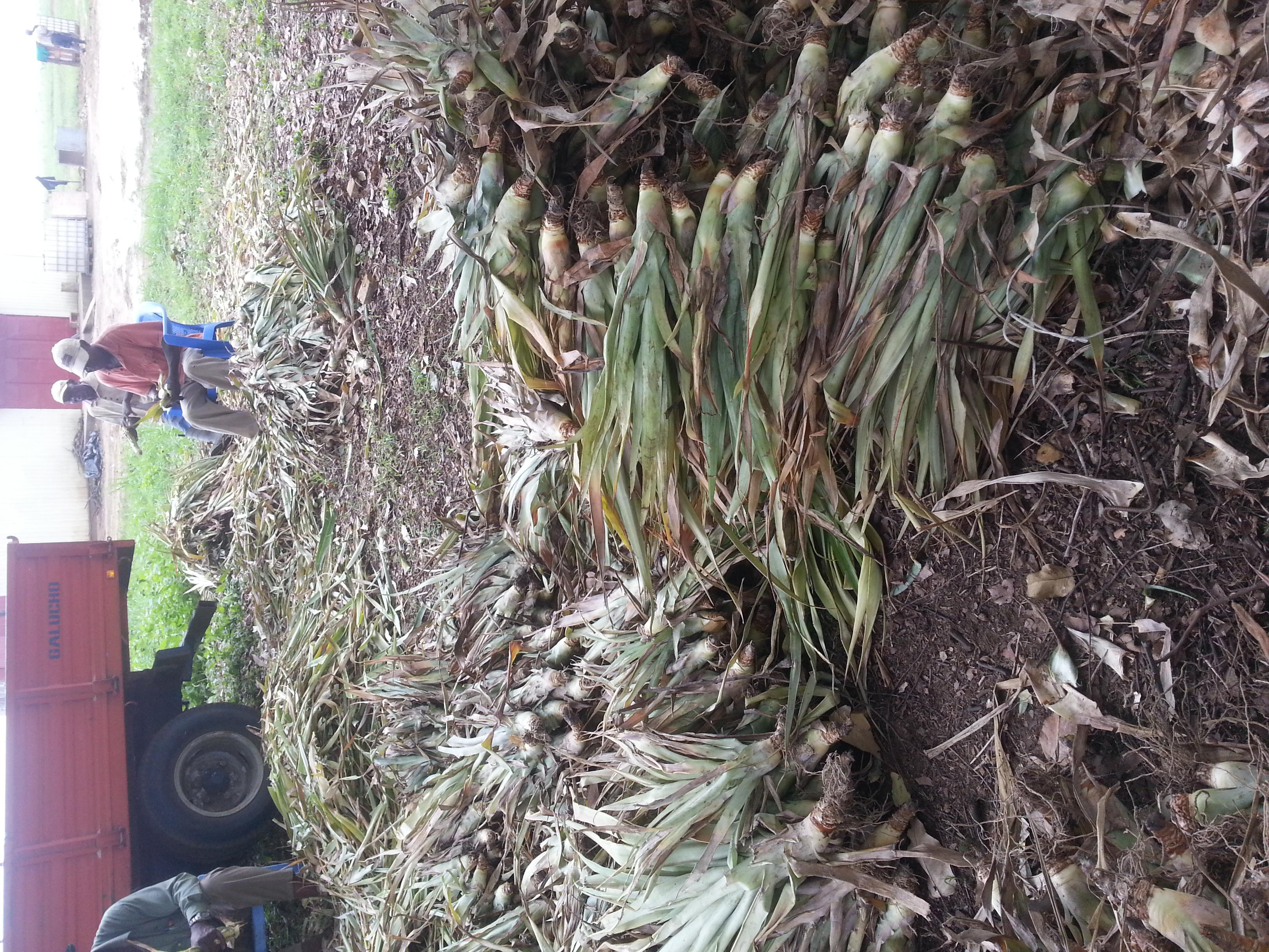 Rejets d'ananas