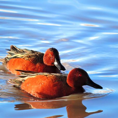The San Luis Valley as a Critical Stopover During                                  Bird Migration