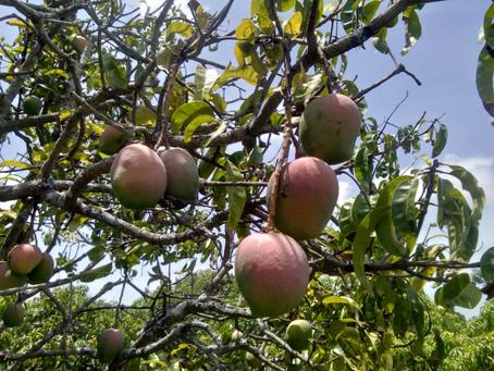 Malgova Mangoes are Available !!!