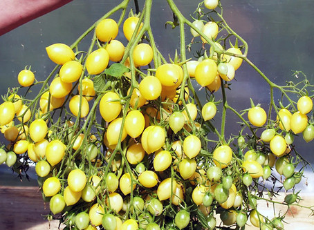 Семена необычных коллекционных томатов