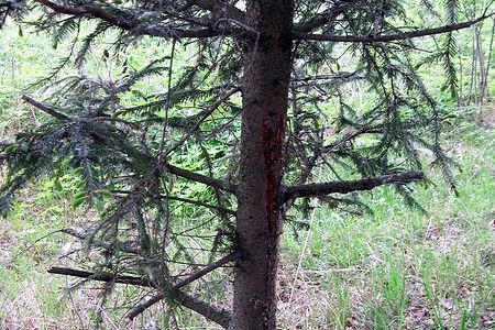 Вред лесу от сборщиков лапника