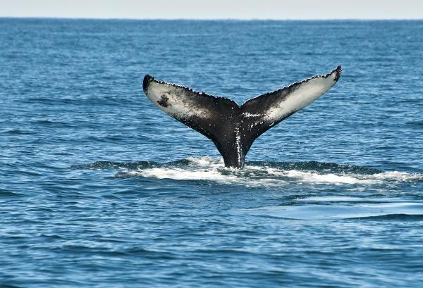 Cola de ballena jorobada en Islandia - Avistamiento de ballenas en Islandia