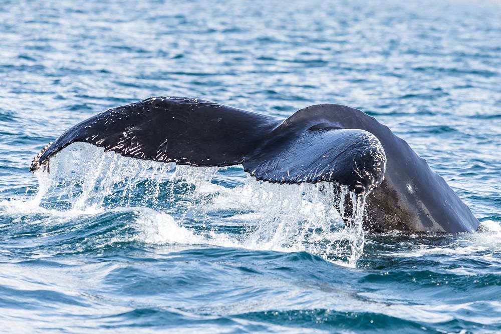 Imagen de la cola de una ballena chapoteando por el mar - ¿Qué hacer en Dalvík al norte de Islandia?