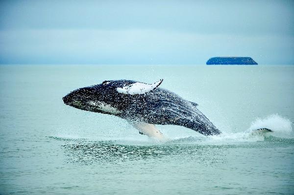 Avistamiento de ballenas en Islandia