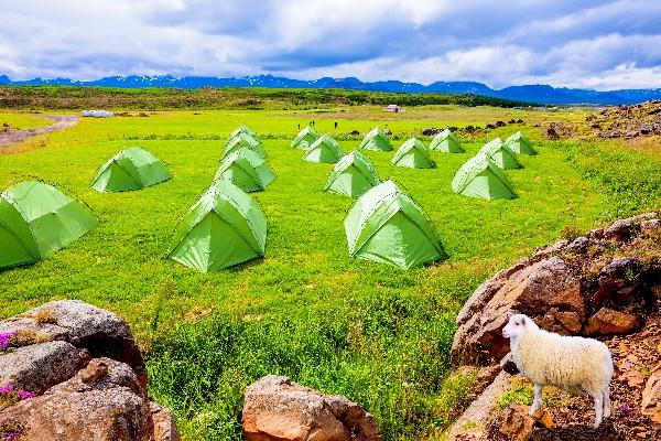 Oveja islandesa contemplando algunas tiendas de campaña - Acampar  en Islandia - Campings abiertos durante el Invierno