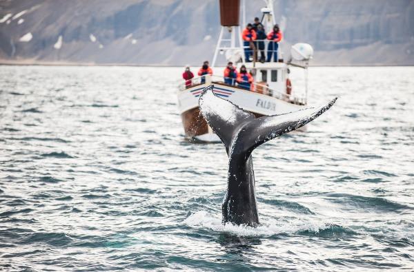 barco pesquero avistando la cola de una ballena en el océano - Húsavik – Avistamiento de ballenas en Islandia