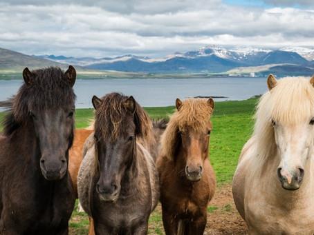 Paseos a caballo en Islandia