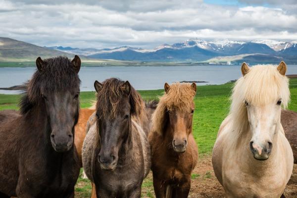 Foto en primer plano de 4 caballos islandeses de diferentes colores - Paseos a caballo en Islandia