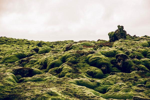 Musgo de campo de lava islandés - Eldhraun - Campo de lava y musgo al sur de Islandia