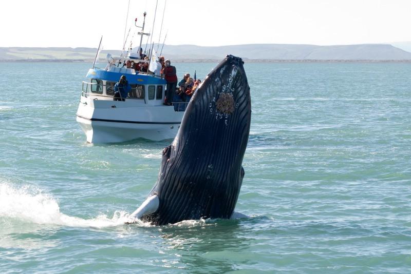 Barco pesquero avistando ballenas - Qué ver en Islandia: Recorrido en Autocaravana