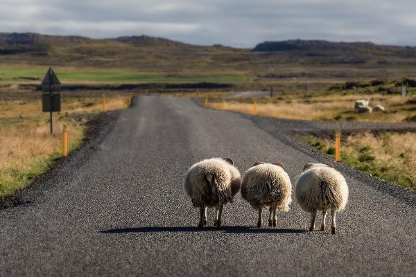 Ovejas en carretera islandesa - La Ruta Circular de Islandia  - ¿Cuánto tiempo se tarda en recorrer?