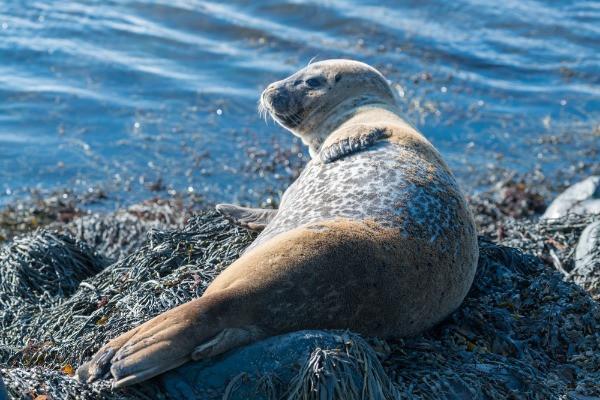 Foca en la playa de Ytri Tunga - Lo mejor de la península de Snaefellsnes en Islandia