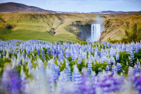 Vista panorámica a la cascada Skogafoss con flores de lupino - El tiempo en Islandia por mes y estación del año