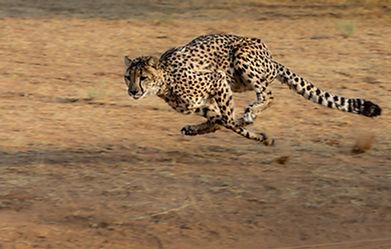 cheetah-2859581_1920.jpg