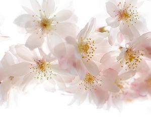 아몬드 나무 꽃