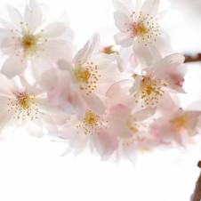 MandelblütenZart