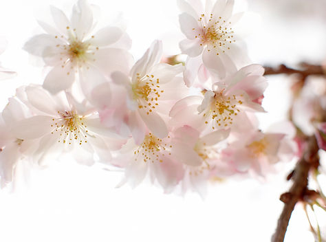 Almond Tree Blomster